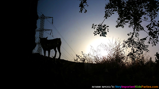 אני ירושלים - זאב אפור בגן החיות התנ