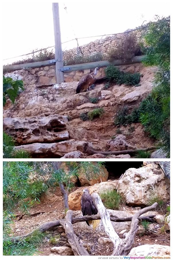 אני ירושלים - עופות דורסים בגן החיות התנ