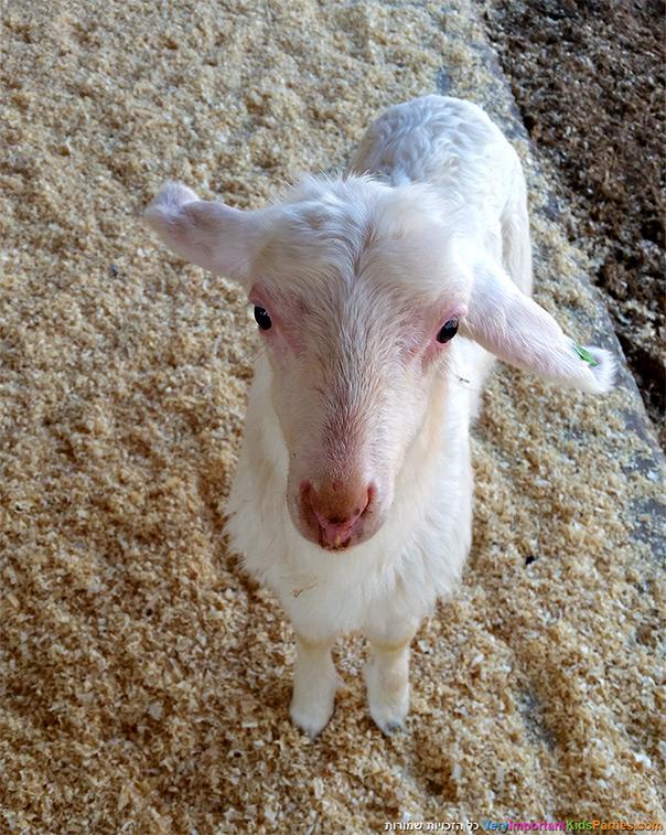 מלבי מחלב כבשים טרי