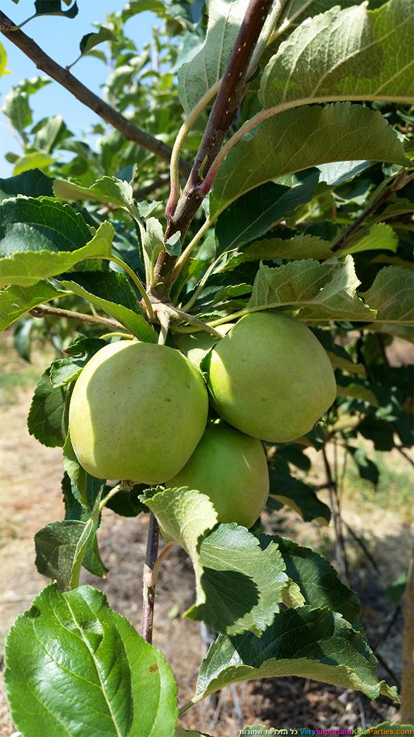 בוסתן עין זיוון - הקיץ עונת התפוחים