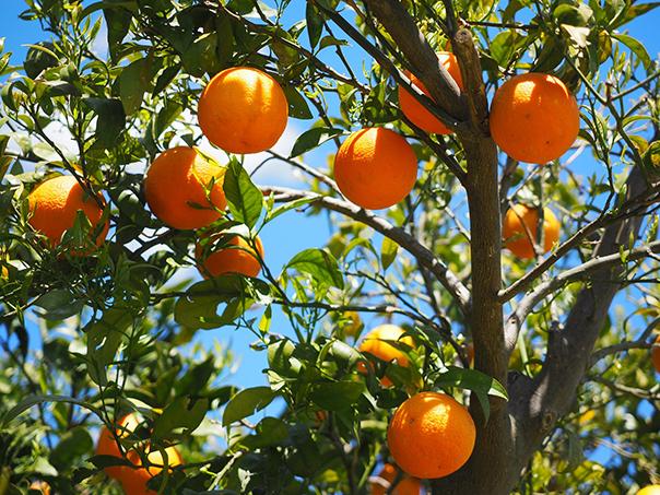 חגיגות טו בשבט - קטיף תפוזים
